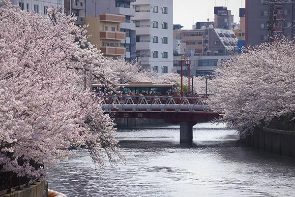 4月 立花幸子「満開の大岡川の桜と市営バス」